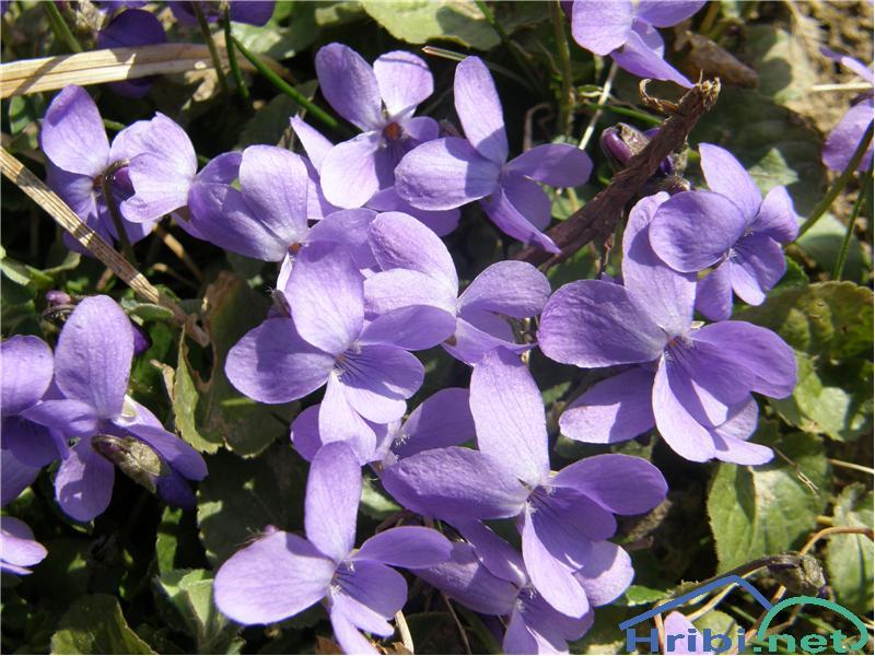 Dišeča vijolica (Viola odorata) - SlikaDišeča vijolica, slikana konec februarja na Donački gori.