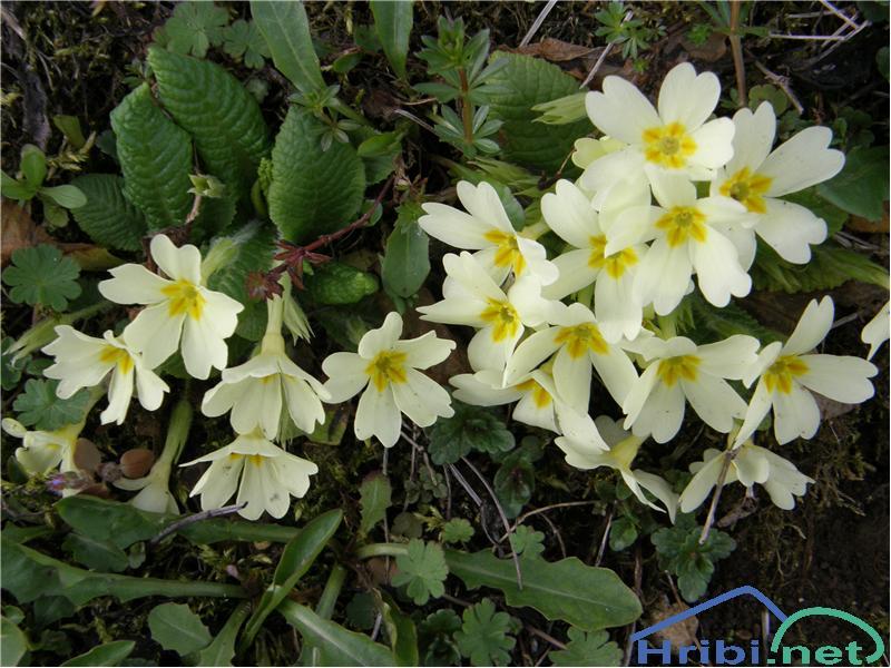 Navadni jeglič ali trobentica (Primula vulgaris) - SlikaTrobentice, slikane v začetku aprila na Križni gori nad ŠkofjoLoko.