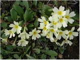 Common Primrose (Primula vulgaris)