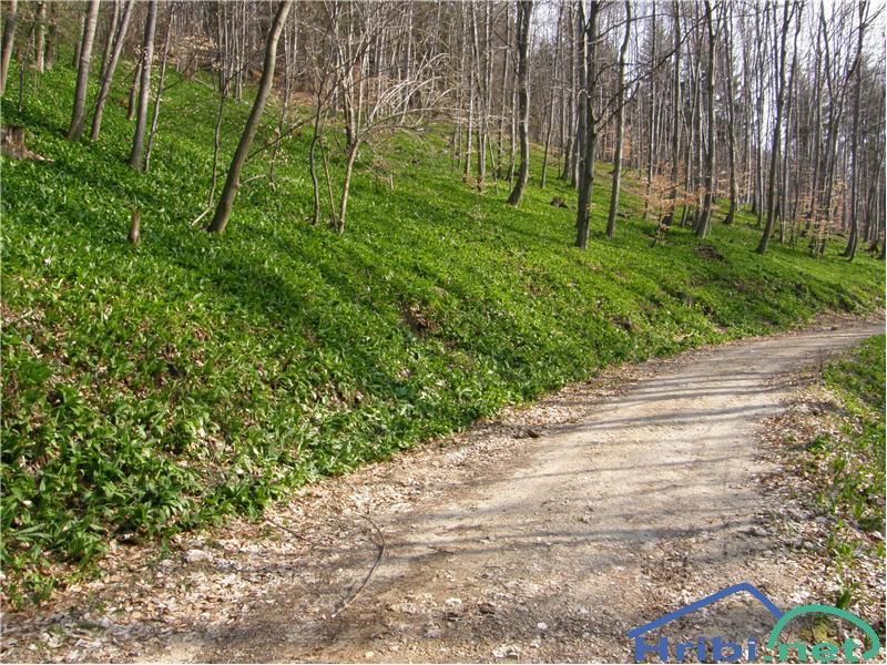 Čemaž (Allium ursinum) - Picture
