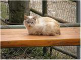 Domača mačka (Felis silvestris catus)