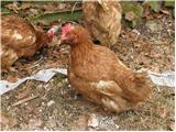 Domača kokoš (Gallus gallus domesticus)