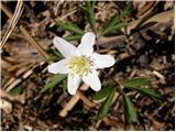 Podlesna vetrnica (Anemone nemorosa)