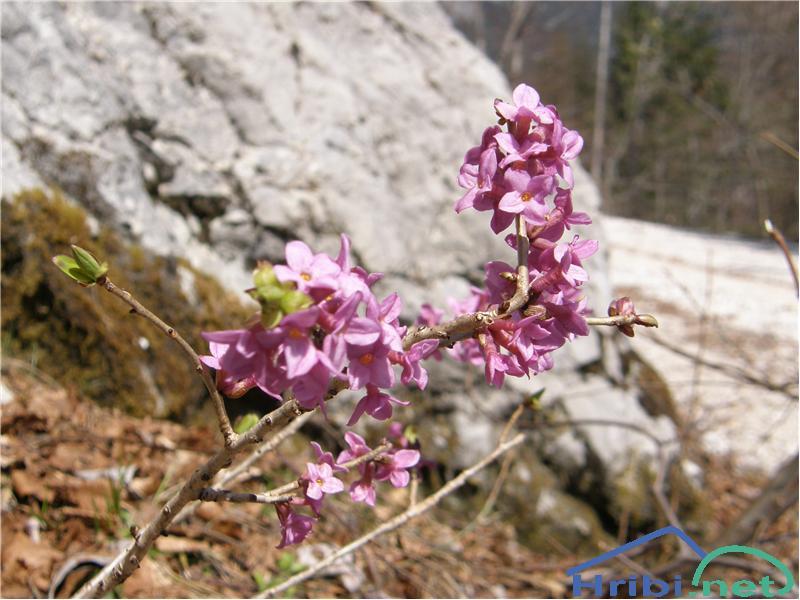 Navadni volčin (Daphne mezereum) - PictureNavadni vočin, slikan sredi aprila na Sviščakih.