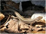 Horvath's Rock Lizard (Iberolacerta horvathi)