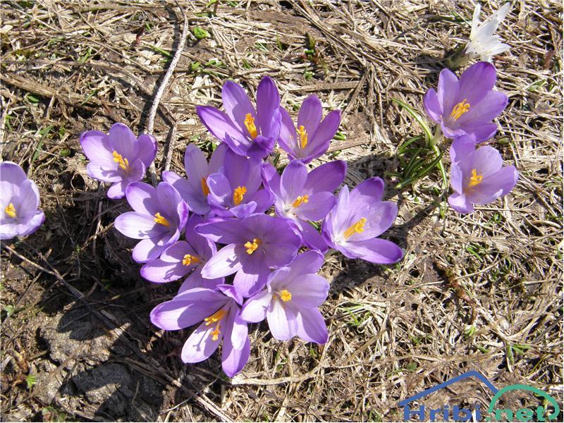 Pomladanski žafran (Crocus vernus) - SlikaPomladanski žafran, slikan aprila na Blegošu.