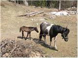 Horse (Equus caballus)