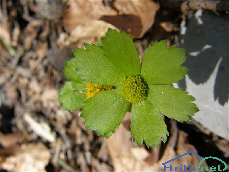 Tevje (Hacquetia epipactis) - PictureTevje, slikano sredi aprila na Sviščakih.