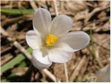 Beli žafran ali nunka (Crocus vernus albiflorus)