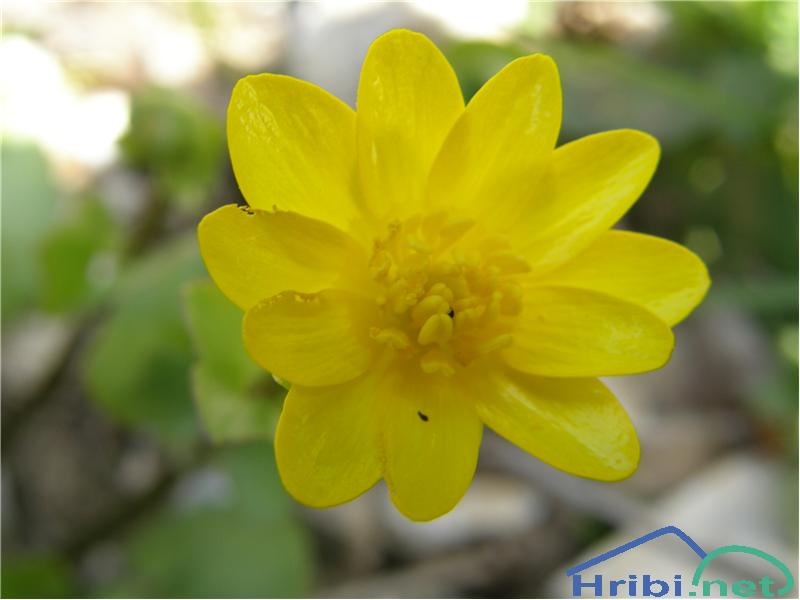 Spomladanska lopatica (Ranunculus ficaria) - SlikaSpomladanska lopatica, slikana v začetku aprila v soteski Pekel pri Borovnici.