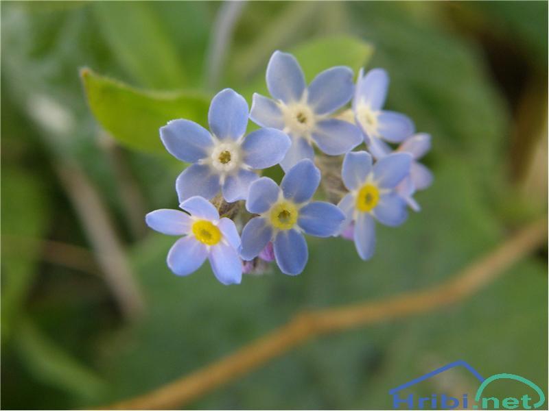 Gozdna spominčica (Myosotis sylvatica) - SlikaGozdna spominčica, slikana sredi aprila na pobočjih Rožce v Karavankah.