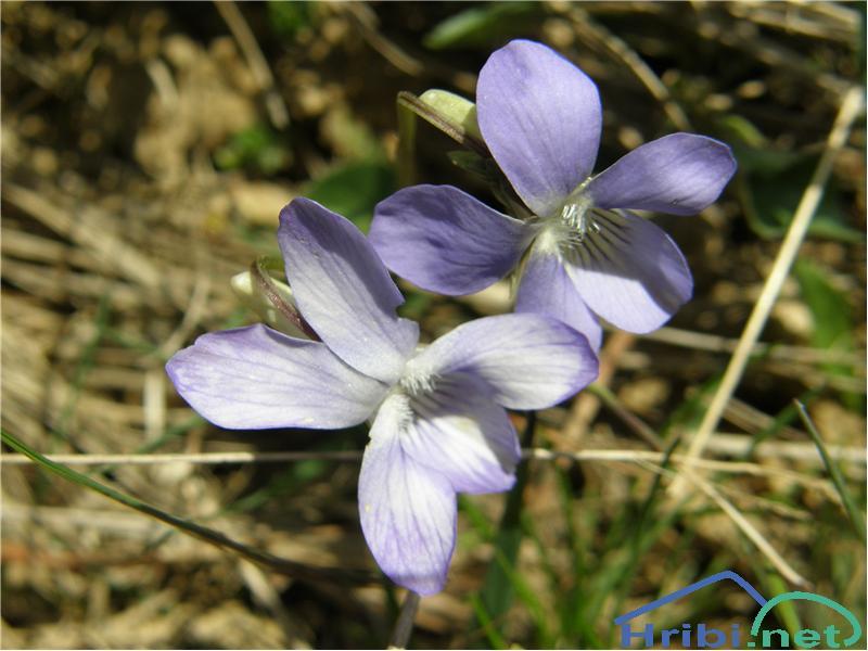 Pasja vijolica (Viola canina) - PicturePasja vijolica (Viola canina), slikana konec aprila na spodnjem delu poti iz Podbrda na Črno prst.