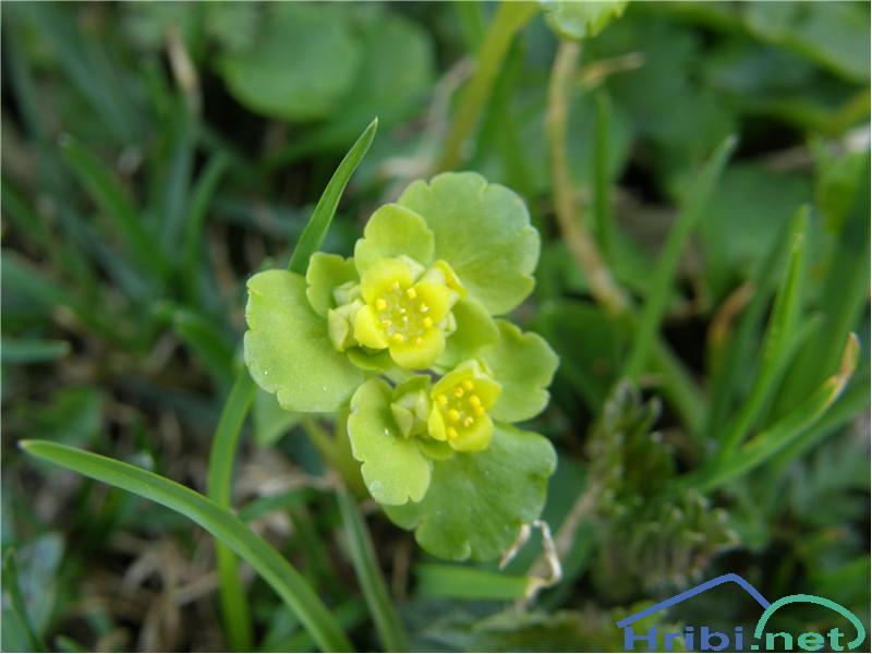 Premenjalnolistni vraničnik (Chrysosplenium alternifolium) - PicturePremenjalnolistni vraničnik, slikan v začetku maja na Pobočjih Polhograjske Grmade.