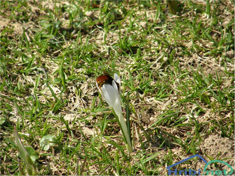 Beli žafran ali nunka (Crocus vernus albiflorus) - PictureBeli žafran in v njem čmrlj, slikano sredi aprila pod Rožco v Karavankah.