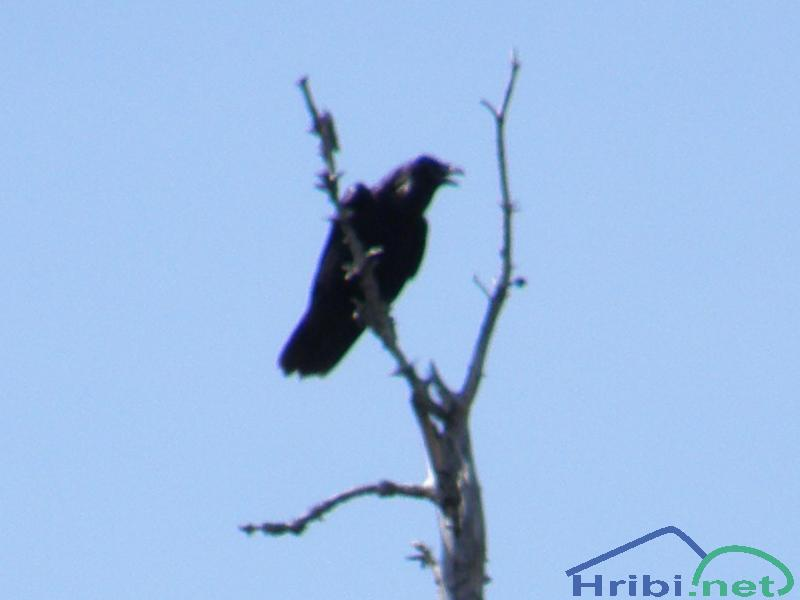 Krokar (Corvus corax) - Picture