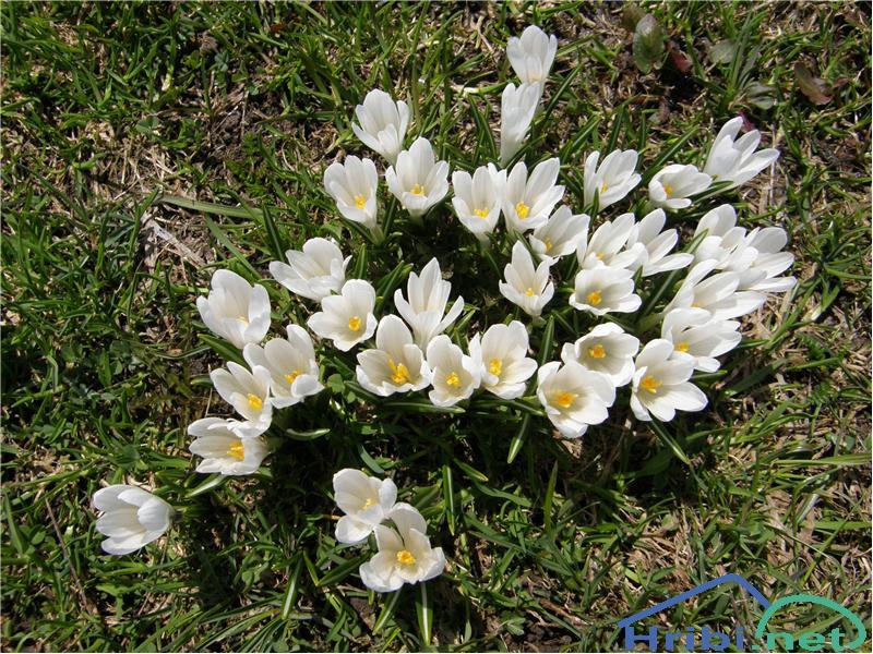 Beli žafran ali nunka (Crocus vernus albiflorus) - SlikaBeli žafran, slikan sredi aprila pod Rožco v Karavankah.