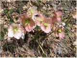 Christmas rose (Helleborus niger)