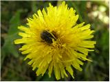 Navadni regrat (Taraxacum officinale)