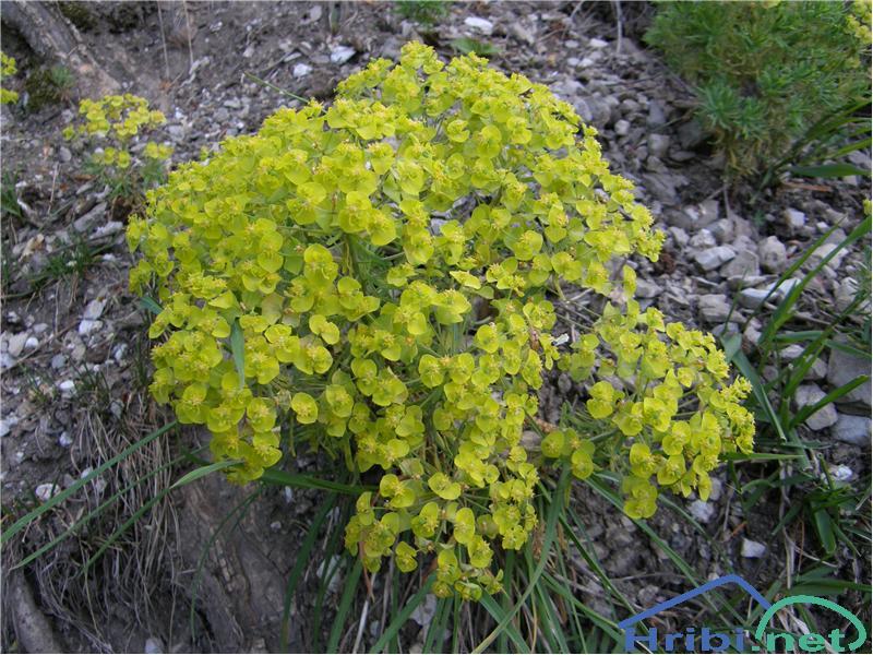 Cipresasti mleček (Euphorbia cyparissias) - SlikaCipresasti mleček, slikan konec maja na Polhograjski Grmadi.