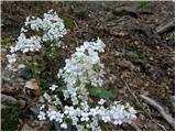 Trefoil Cress (Cardamine trifolia)