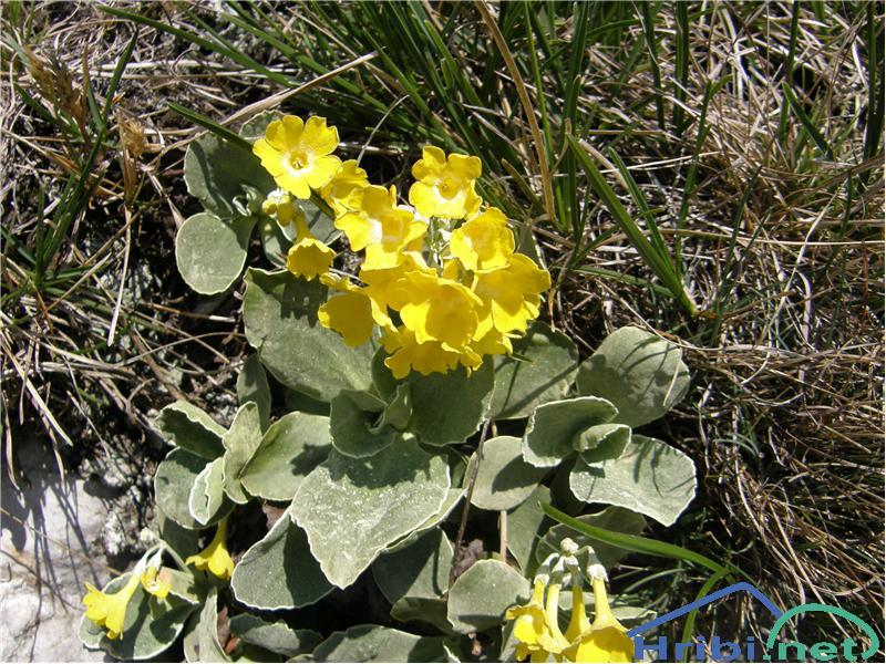 Lepi jeglič ali avrikelj (Primula auricula) - PictureAvrikelj, slikan konec aprila na južnih pobočjih Črne prsti.