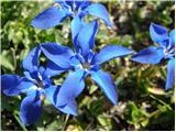 Spomladanski svišč (Gentiana verna)