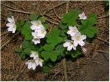 Wood-sorrel (Oxalis acetosella)