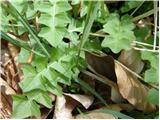 Odorous Pig-salad (Aposeris foetida)
