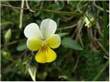 Njivska vijolica (Viola arvensis)