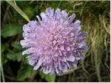 Njivsko grabljišče (Knautia arvensis)