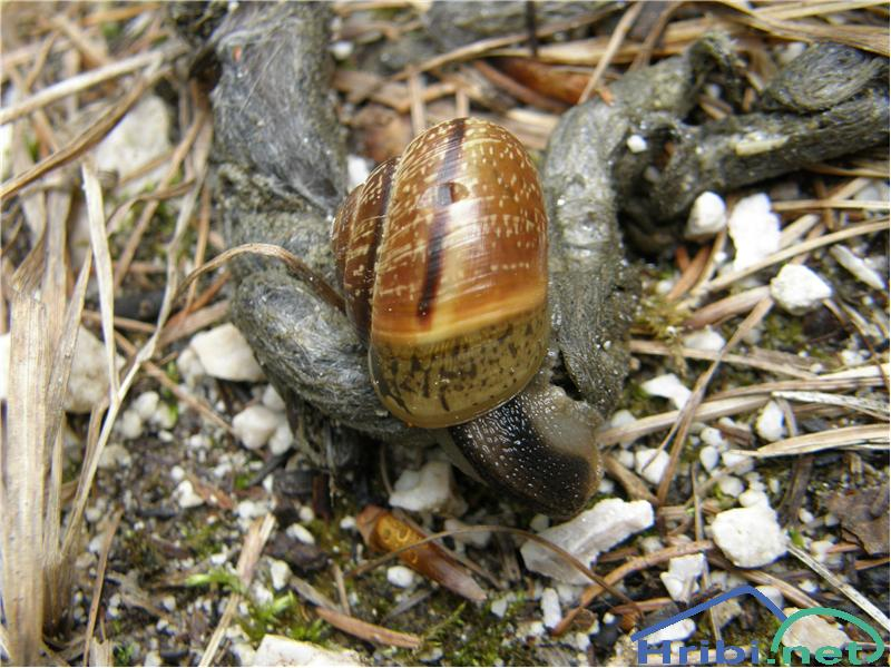 Navadni polž (Helix pomotia) - Picture