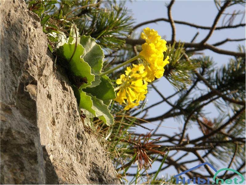 Lepi jeglič ali avrikelj (Primula auricula) - PictureAvrikelj, slikan v začetku maja v bližini Celovške koče na avstrijski strani Karavank.
