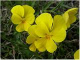 Zois' Violet (Viola zoysii)