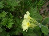 Oxlip (Primula elatior)