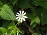 Kljukastosemenska zvezdica (Stellaria montana)