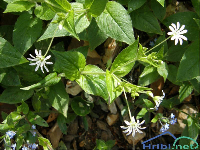 Kljukastosemenska zvezdica (Stellaria montana) - PictureKljukastosemenska zvezdica, slikana konec maja na pobočjih Uršlje gore.