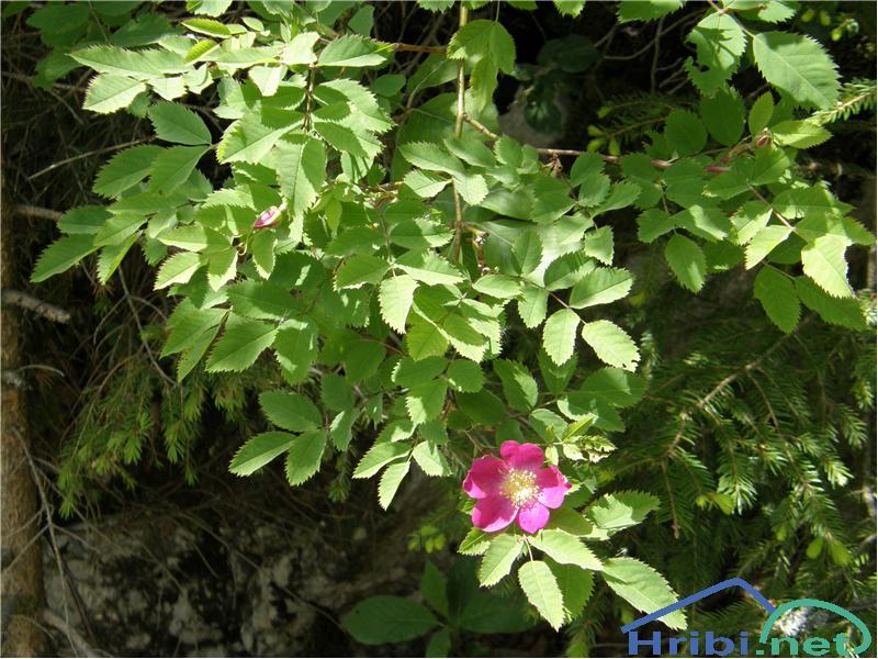 Alpski šipek (Rosa pendulina) - PictureAlpski šipek, slikan konec maja na Javorniškem Rovtu nad Jesenicami.