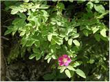 Alpski šipek (Rosa pendulina)