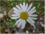 Navadna ivanjščica (Leucanthemum ircutianum)