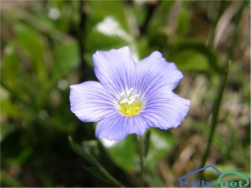 Julijski lan (Linum julicum) - PictureJuliski lan, slikan v začetku junija na južnih pobočjih Storžiča.