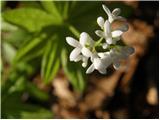 Dišeča lakota (Galium odoratum)