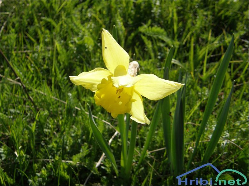 Rumeni narcis (Narcissus pseudonarcissus) - SlikaRumeni narcis, slikan konec maja na vrhu Uršlje gore.