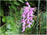 Navadni kukovičnik (Gymnadenia conopsea)