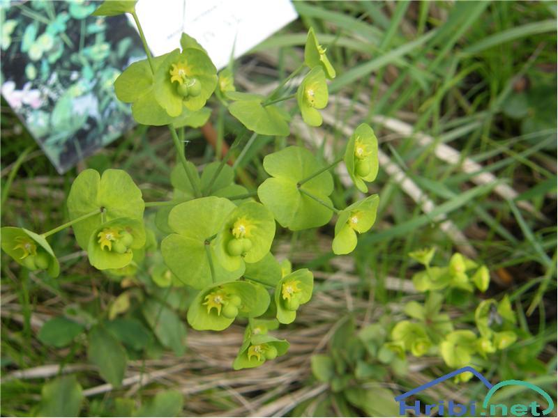 Mandljevolistni mleček (Euphorbia amygdaloides) - PictureMandljevolistni mleček, slikan junija na Golteh.