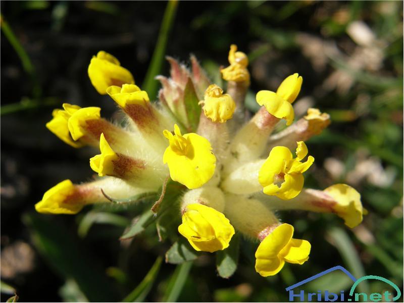 Ranjak (Anthyllis vulneraria) - PictureRanjak, slikan konec maja na pobočjih planine Koren.