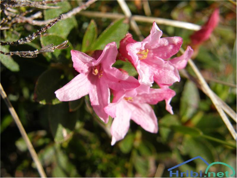 Dlakavi sleč (Rhododendron hirsutum) - SlikaDlakavi sleč, slikan začetek junija na pobočjih Kompotele.