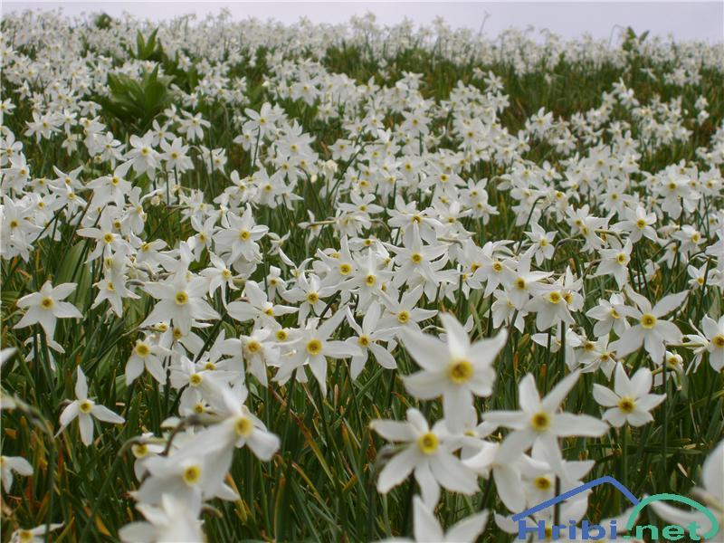 Gorski narcis (Narcissus poeticus radiiflorus) - SlikaGorski narcis, slikan v začetku junija na pobočjih Hruškega vrha v Karavankah.