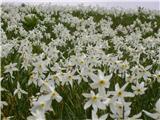 Narcissus poeticus radiiflorus