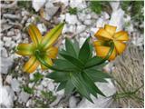 Zlato jabolko (Lilium carniolicum)
