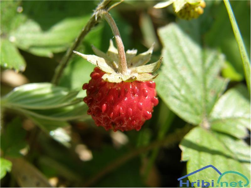 Navadni jagodnjak (Fragaria vesca) - PictureSadež navadnega jagodnjaka, slikan konec junija na Klemenčijami.